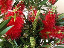 Citrinus de Callistemon - Bottlebrush cramoisi Photographie stock