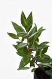 Citroen Myrtle Plant royalty-vrije stock fotografie