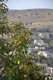 Citroenbomen in Libanon royalty-vrije stock afbeeldingen