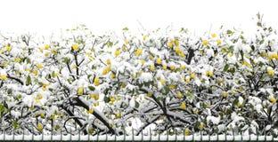 Citroenbomen in sneeuw begin Februari na de gevolgen van de Siberische die massa van lucht worden in zuidelijk Italië binnen word Royalty-vrije Stock Foto