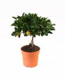 Citroenboom Royalty-vrije Stock Afbeelding