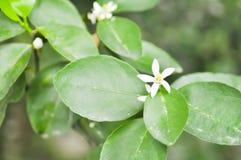 Citroenboom, lindeboom Royalty-vrije Stock Foto