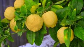 Citroenboom met citroenen stock footage