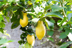 Citroenboom met fruit stock fotografie