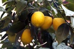 Citroenboom met vruchten door bladeren worden omringd dat royalty-vrije stock fotografie