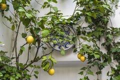 Citroenboom met vruchten en decoratieve plaat die de muur van het huis verfraaien bij het Terrassenfestival in Cordoba, Spanje, 0 stock afbeeldingen