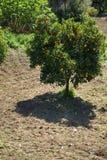 Citroenboom met Vruchten stock foto's
