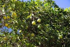 Citroenen bij boom met blauwe hemel Stock Foto's
