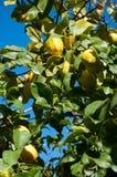 Citroenen die op een boom groeien. stock fotografie