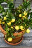 Citroenen in een pot Royalty-vrije Stock Fotografie