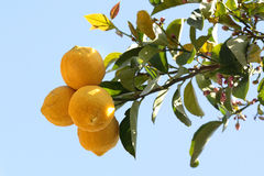 Citroenen op citroenboom Stock Foto