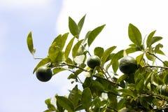 Citroenfruit op boom Stock Afbeelding