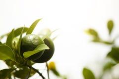 Citroenfruit op boom Royalty-vrije Stock Foto