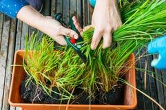 Citroengras aromatisch kruid royalty-vrije stock foto