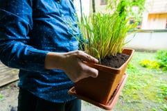 Citroengras in bloempot Royalty-vrije Stock Afbeelding