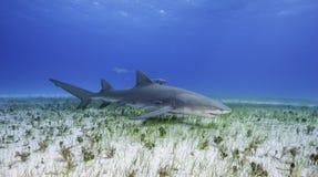 Citroenhaai Grote Bahama, de Bahamas royalty-vrije stock foto's