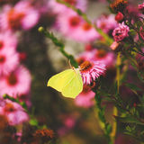 Citroenkoolwitje op purpere bloemenachtergronden Royalty-vrije Stock Fotografie