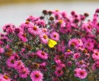 Citroenkoolwitje op purpere bloemenachtergronden Stock Afbeeldingen