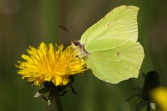 Citroenvlinder, Brimstone, Gonepteryx rhamni stock photo