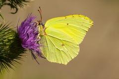 Citroenvlinder, Brimstone, Gonepteryx rhamni royalty free stock photos