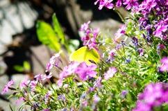 Citroenvlinder op bloemen Royalty-vrije Stock Foto's