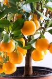 Citrofortunella microcarpa - Calamondin tree Royalty Free Stock Image