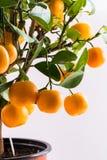 Citrofortunella microcarpa - Calamondin tree Stock Photography
