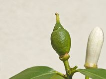 citron Royaltyfria Bilder