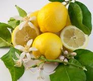 citron 5 Arkivfoton
