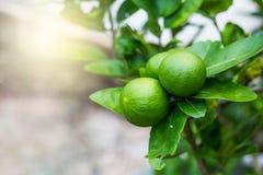 Citron aigre vert de limettier dans le jardin Photos stock