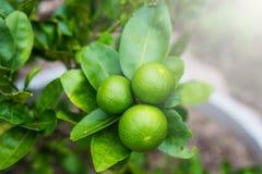 Citron aigre vert de limettier dans le jardin Photo stock