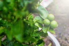 Citron aigre vert de limettier dans le jardin Photographie stock libre de droits