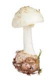 Citron Amanit isolated on white. Background royalty free stock photo