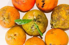 Citron: Bästa sikt av en grupp av Rangpur limefrukt Royaltyfri Bild