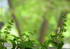 Citron Basil Growing sur le rebord de fenêtre Image libre de droits