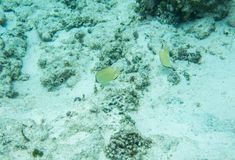 Citron Butterflyfish on the Ocean Floor. Tropical, citron butterflyfish with natural corals and sandy ocean floor in the underwater reef ecosystem off Yejele Stock Photo