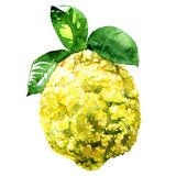 Citron, Citrus medica isolated watercolor illustration on white Royalty Free Stock Photos