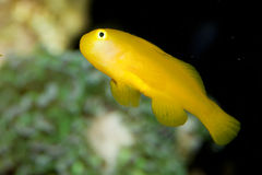 Citron Clown Goby Stock Image
