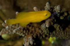 Citron Clown Goby Stock Photography