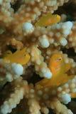 Citron Coral Gobies Royalty Free Stock Photos