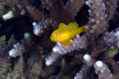 Citron coral goby (gobiodon citrinus). Stock Images