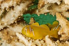 Citron coral goby (gobiodon citrinus) Stock Image