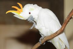 Citron-crested cockatoo Royalty Free Stock Photos