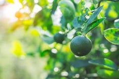 Citron dans le jardin Photo stock