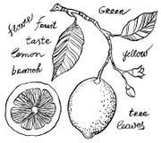 Citron de dessin de main Images stock