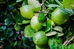 Citron de jardin Photos libres de droits