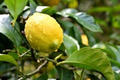 Citron efter regn arkivfoto