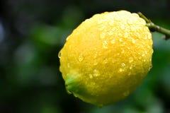 Citron efter regn fotografering för bildbyråer