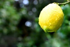 Citron efter regn royaltyfri fotografi