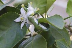 Citron- eller limefruktblomning med citronforsar som växer i trädgården royaltyfri fotografi